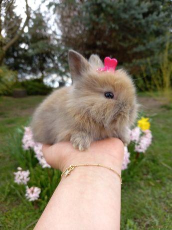 C1 króliczek królik  TEDDY KARZEŁEK DŁUGOWŁOSY karmel  WYPRAWKA mini
