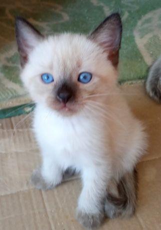 Красивые котята породы турецкий Ван