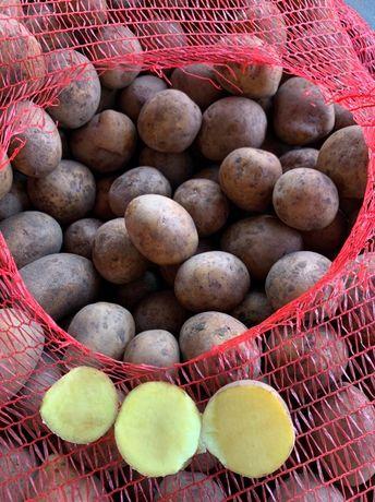 Картошка семенная и продовольственная