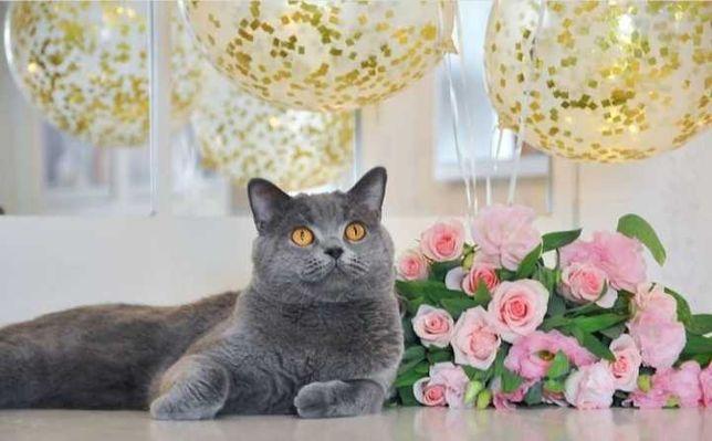 Одесса Вязка клубный шотландский прямоухий кот не британский