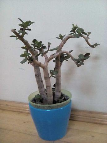 Денежное дерево в стиле Бонсай