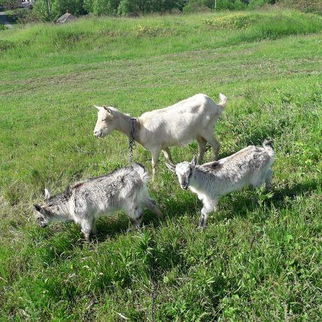 Продам козу з козенятами