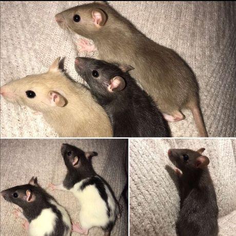 Крыски в заботливые любящие ручки.