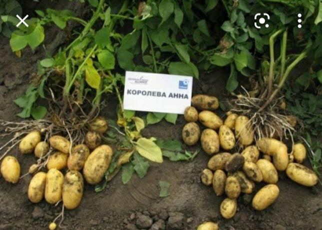 картошка картофель картопля