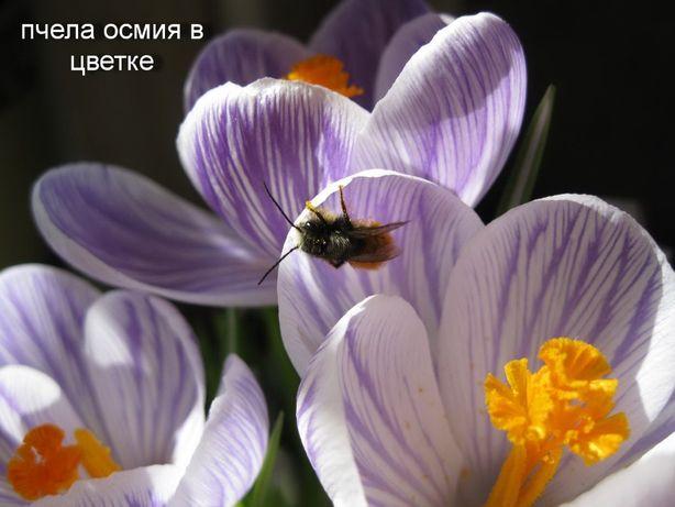 Осмии- всепогодная пчела-опылитель -  начал рассылку заказов