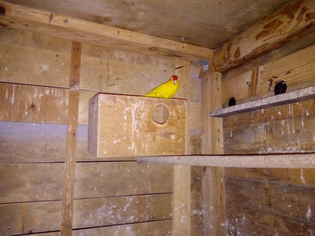 Para lęgową papug