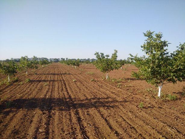 Продам ореховый сад 21 га