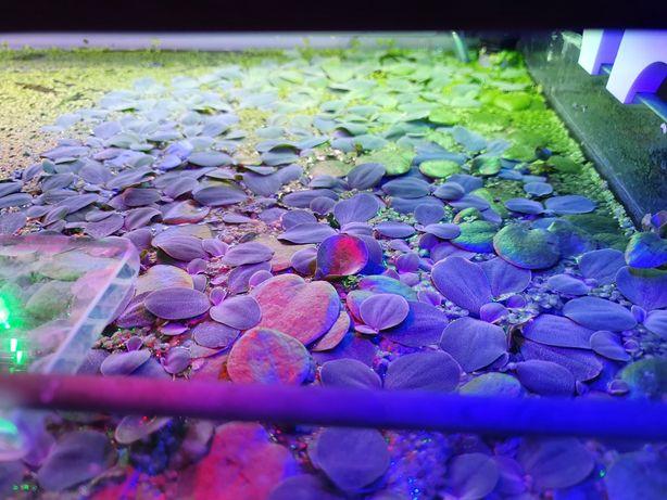 Pistia roślina pływająca