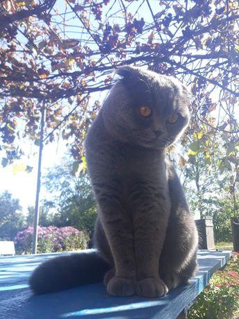 Кот на вязку вислоухий британец