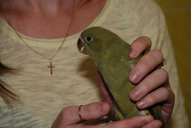 Цветастые ожерелки, Ожереловый попугай все окрасы, ручные птенцы