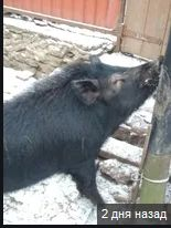 Поросята,Свині Кармали їдять мало, а важать багато Розпродаж