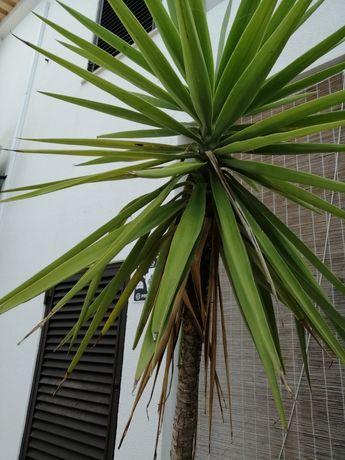 Vendo planta yuca em vaso
