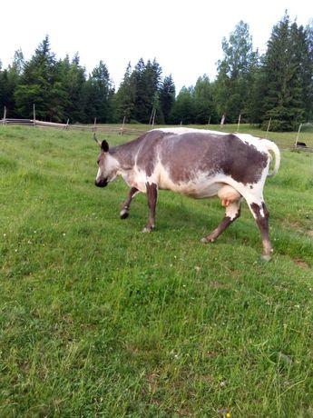 Продам Корову і телицю