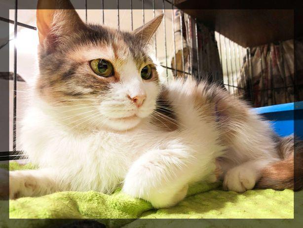 Кішка ніжнюля Ева шукає новий дім, кошка, 1 рік