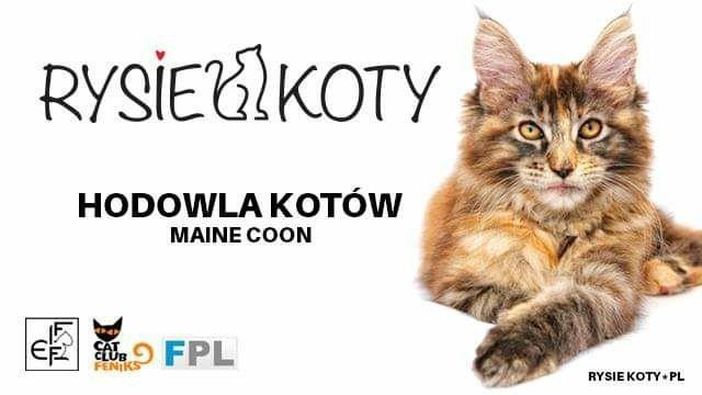 Kocięta koty Maine Coon Świętokrzyskie Małopolskie Rodowód FPL Miot E