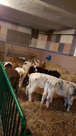 Byczki z dostawą do domu