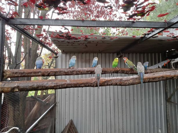 Papuga Papugi Faliste