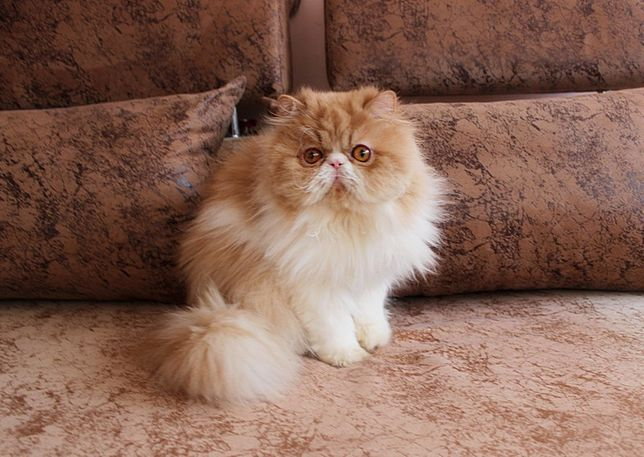 Персидский котик с документами CFA.