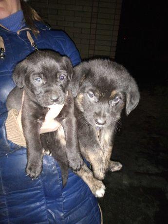 Щенки дворовой собаки