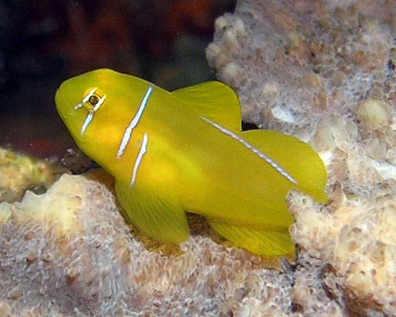 Akwarium morskie - Gobiodon citrinus