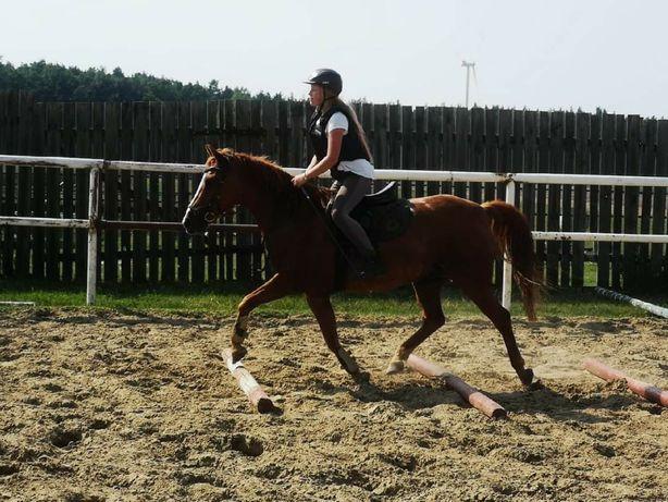 Dzierżawa konia, kuca