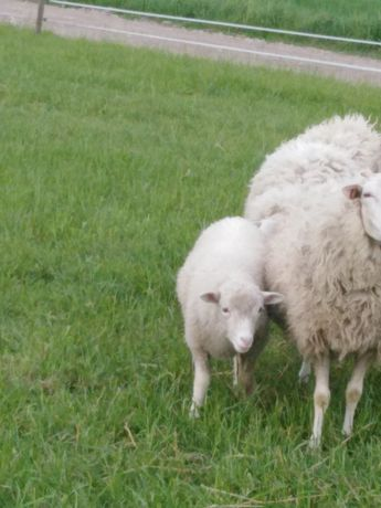 Sprzedam owce rasy mięsnej