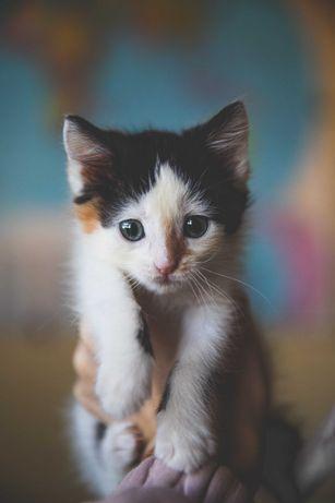 Котенок девочка ищет дом, 1 мес,  обработана, знает лоток