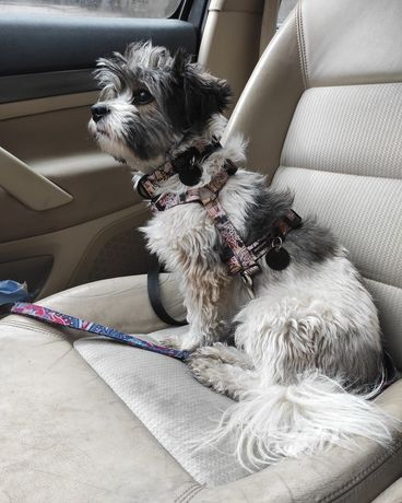 Mały długowłosy pies Gizmo do adopcji - dla doświadczonych