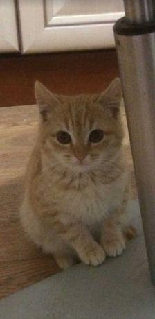 Продам котенка породы Скоттиш страйт