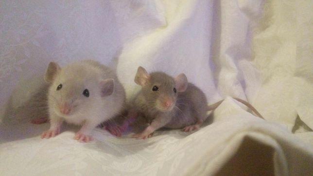 Крысы дамбо, крысята , крыски , декоративные крысята