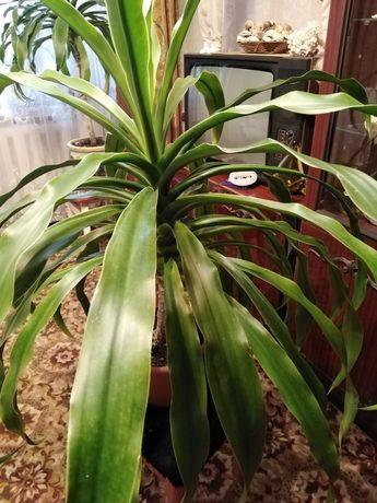 Цветок Панданус (винтовая пальма)