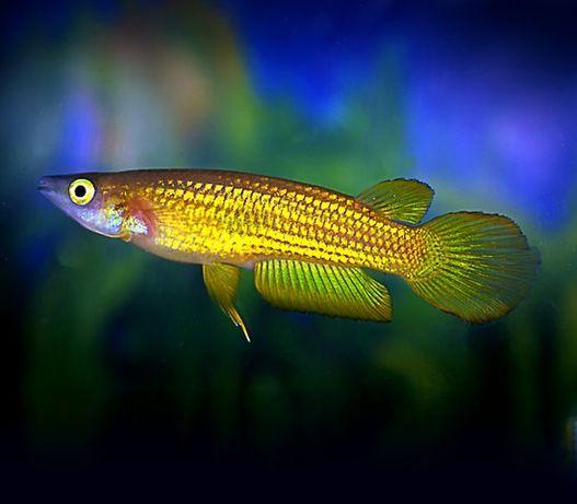 Szczupieńczyk złoty Aplocheilus lineatus