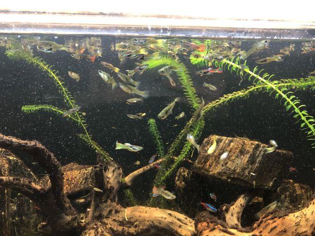 Gupiki Endlera rybki akwariowe