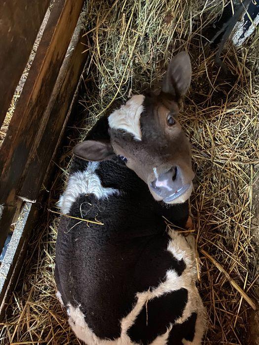 Телёнок, телятко, молочне теля Россоша - изображение 1