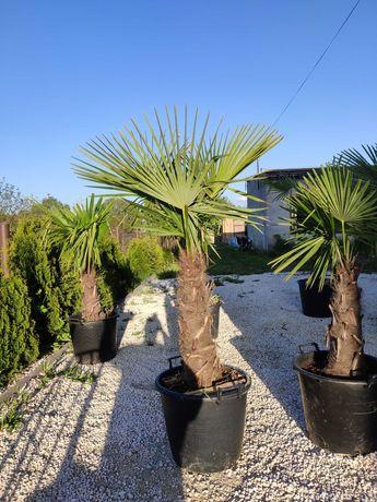 Mrozoodporna palma Trachycarpus Fortunei pień 60 cm