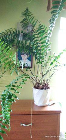 Paproć wielka, roślina doniczkowa