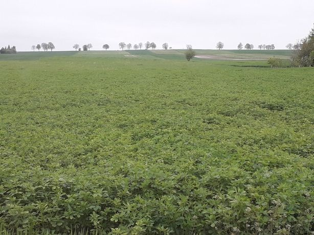 Sprzedam nasiona traw Koniczyna Tymotka Kostrzewa Życica Rajgras Kupko