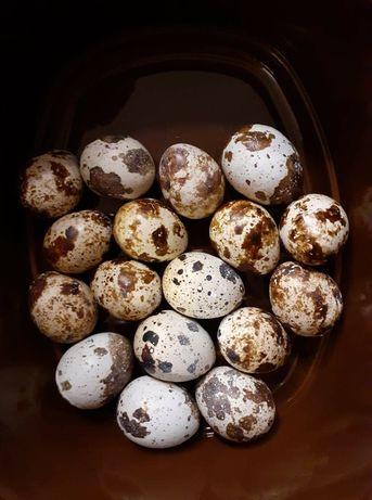 Jajka jaja przepiórcze