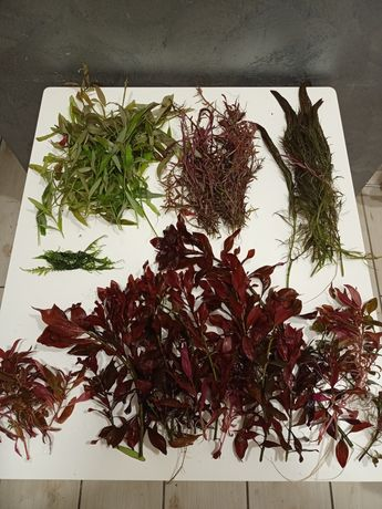 Rośliny akwariowe duża ilość