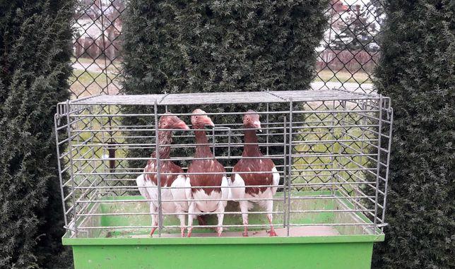 Gołąb sroka angielska - 2 samice i samiec