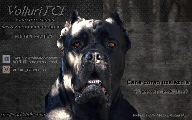Hodowla cane corso VOLTURI FCI - k/Warszawy