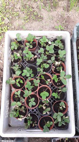 Sadzonki truskawek w doniczkach