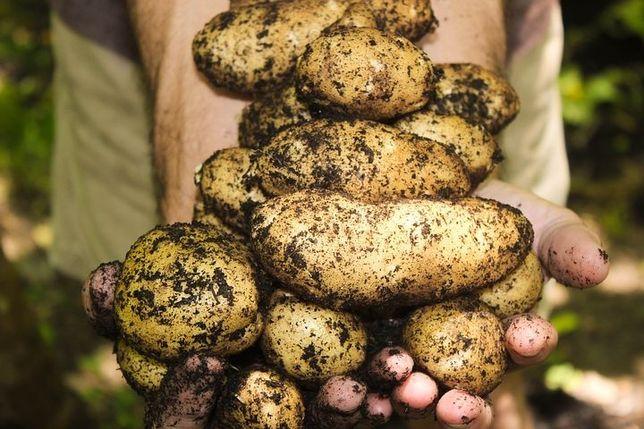 Ziemniaki paszowe