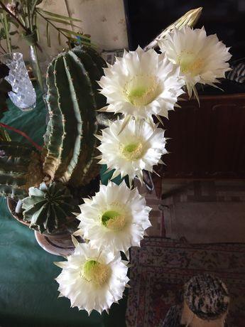 Эхинопсис, Крассула (денежное дерево)