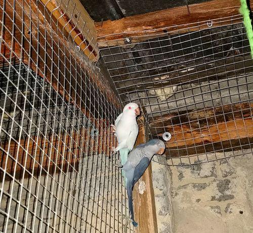 Para papug falistych szuka domu