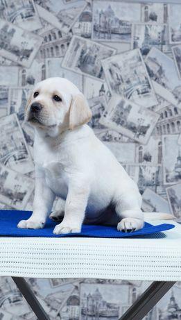 Белоснежный Мальчик Лабрадор на Новый год Подарок щенок Премиум класс