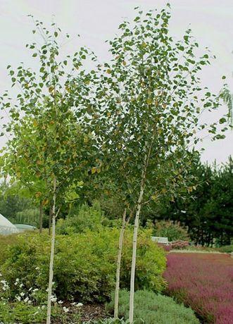 drzewka brzozy brzoza brzózki 2m