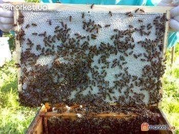 Матки и пчелы украинской степной породы