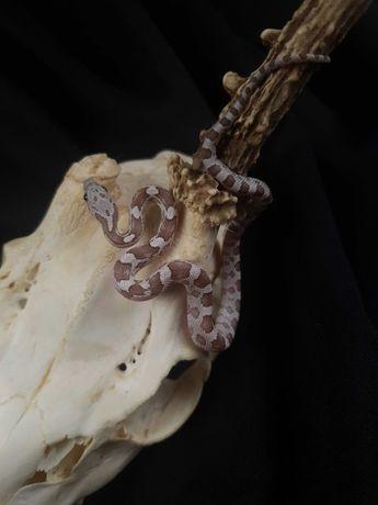 Wąż zbożowy Silver Queen samiec 1.