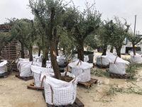 oliveiras novas jardim